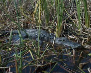 Everglades-055