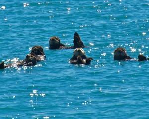 Sea-Otters-_2_