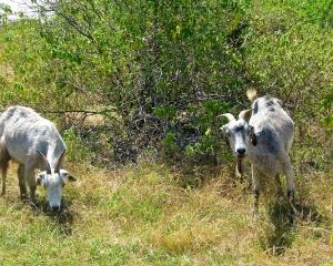 Wild-goats-of-Bonaire