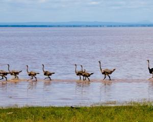 Masai Ostriches