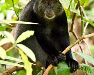Sykes/Blue monkey