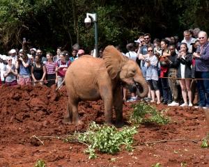 Orphaned Elephant