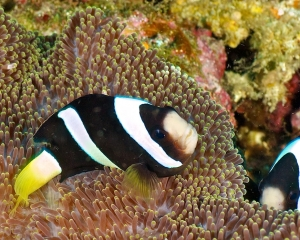 anemone-clown-fish-_10_