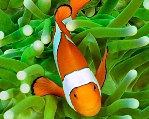 anemone-clown-fish-_8_