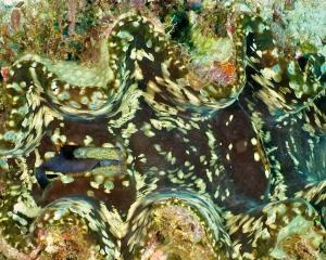 clam-_2_