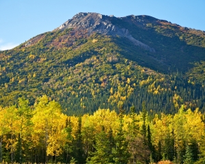 Golden-shades-of-the-Aspen-in-the-fall