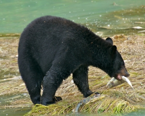 Black-Bear-fishing-for-Silver-Salmon-_3__001