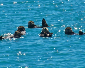 Sea-Otters-_2_