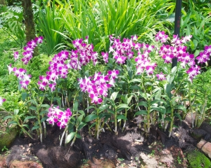 Orchid-241