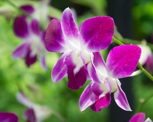 Orchid-242
