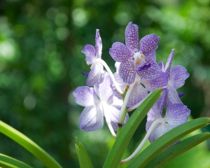 Orchid-250