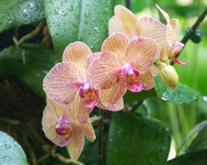 Orchid-255