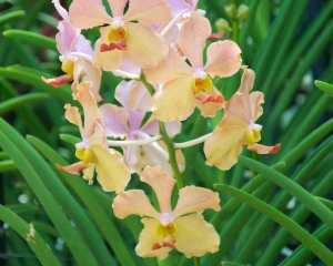 Orchid-280